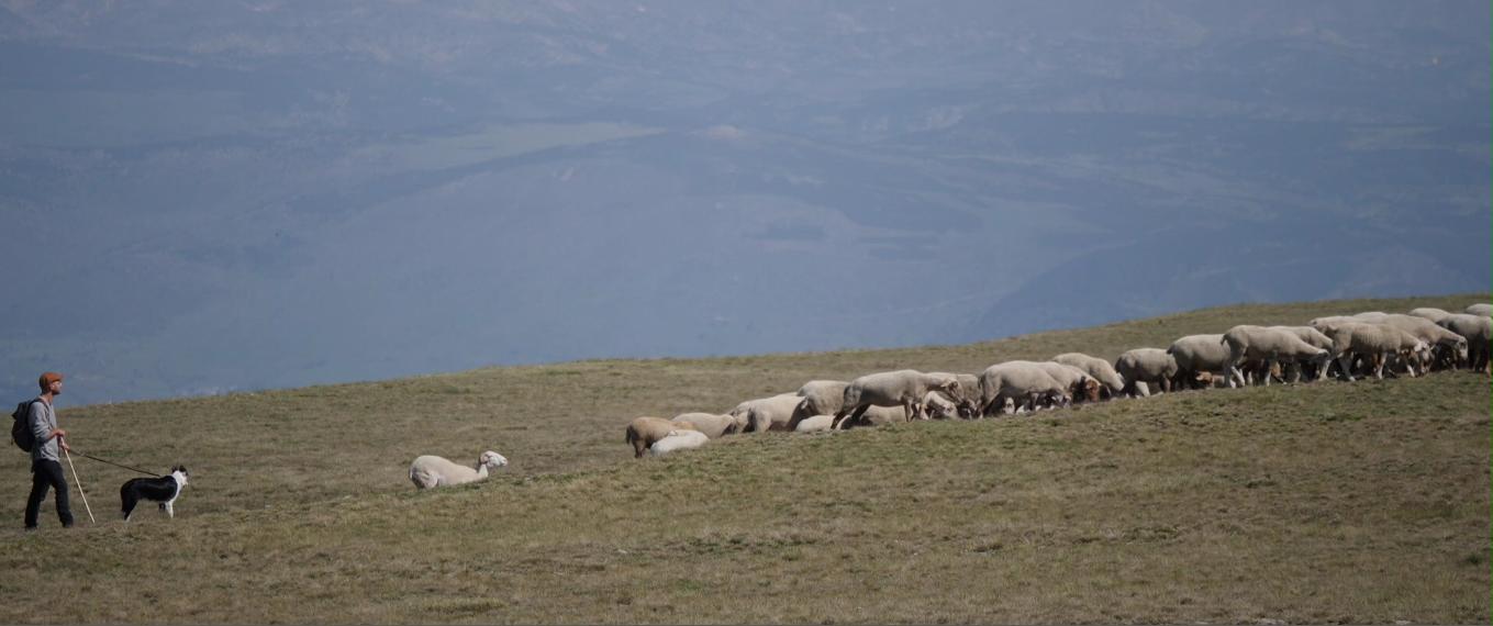 Reportage – Revenons à nos moutons !